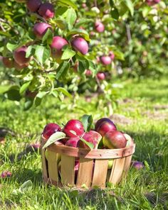 Apple Pear, Red Apple, Fruit Photography, Product Photography, Photography Ideas, Apple Harvest, Apple Orchard, Apple Tree, Fruit Trees