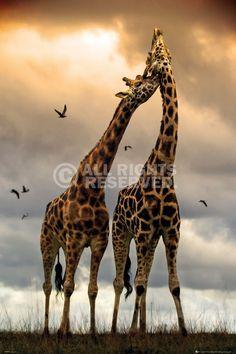 Poster: Giraffes - Kissing zum Verkauf online. Bestellen Sie Ihre Poster, Ihre 3D Film-Poster oder ähnliches interessantes Deco Panel 60x90
