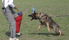 Leerburg | The Difference Between Schutzhund & KNPV Dogs