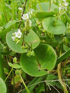 John Scheepers Garden Seeds  Claytonia perfoliata  #2890 - 125 seeds for $3.45