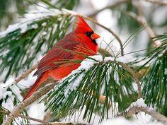 cardinal+in+winter.jpg (550×413)