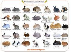 Principales Razas de Conejos
