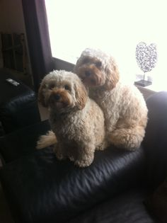 Betty & Wilma our Cockapoo dogs 1 year old and still cute as ever x
