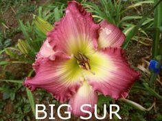 Big Sur (Stamile, 1997) height 30in (76cm), bloom 6.5in (16.5cm), season EM, Rebloom, Semi-Evergreen, Tetraploid, Very Fragrant, Rose self with a green throat. (Chance Encounter × Seminole Wind)
