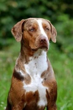 Catahoula Leopard Dog Beautiful Dogs, Animals Beautiful, I Love Dogs, Cute Dogs, Catahoula Cur, Leopard Dog, Large Dog Breeds, Lhasa, Hound Dog
