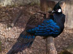 Palawan Pheasant Peacock | oleh Al Power