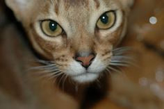 Just like my Mr. Pink Ears:  abyssinian cat breed information