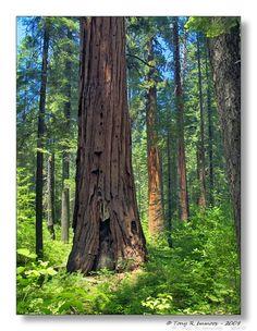 Calaveras Big Trees State Park, South Grove