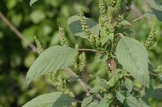 Amaranthus_hybridus_what a useful little weed