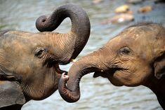Pinnawela Elephant Orphanage in Sri Lanka, courtesy of Time World World Elephant Day, Happy Elephant, Asian Elephant, Elephant Love, Elephant Nails, Wild Elephant, Elephant Pictures, Elephants Photos, Save The Elephants
