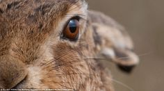 brown hare photographed by Elliot Hook in Havergate Island, Suffolk