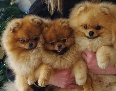Buy & Sell POMERANIAN puppies online  https://www.dogspuppiesforsale.com/pomeranian