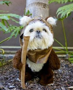 Shih tzu's may be the original inspiration for Ewoks