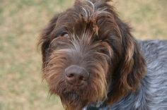 Frank, our 9 month old Wirehaired Pointing Griffon.