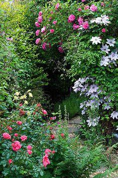 Garden with clematis nelly moser, rose zepherin drouhin, rose berkshire