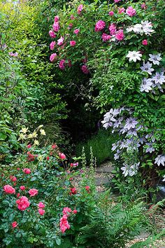 Path beside the back of the house with clematis nelly moser, rose zepherin drouhin, rose berkshire