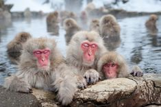 """Snow Monkey article with beautiful pictures.  Very 漢字 dense, but limited text and good """"fact-finder"""" section at end."""