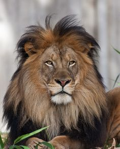 The king of all animals indeed...  Lion 8x10 Color Photograph by SolsticePhoto on Etsy, $20,00