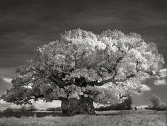 Le chêne de Bowthorpe, (Manthorpe, Angleterre 2002) est légendaire. Agé de 1200 ans il couronne les prairies du Lincolnshire, ce fût le premier arbre photographié par Beth Moon.