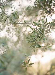 The Lost City: Olive tree The Magic Faraway Tree, Moda Floral, Mediterranean Garden, Olive Gardens, Land Scape, Planting Flowers, Nature Photography, Instagram, Pictures
