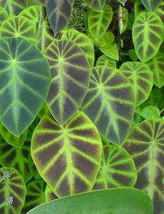 """Colocasia affinis 'Jeningsii' Zone: 8-10, at least, Height: 18"""", Culture: Part Sun to Light Shade, ..."""