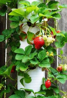 Vertical Gardening (strawberries). In our communal garden at VrijGroen (Leiden) - we have a circular 'strawberry-tower' made with bricks; really purdy!