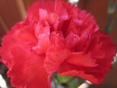 red carnation by colleen winter Red Carnation, My Flower, Flowers, Flower Pictures, Carnations, Rose, Winter, Plants, Winter Time