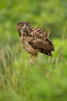 Eurasian Eagle Owl - www.facebook.com/photoMZ