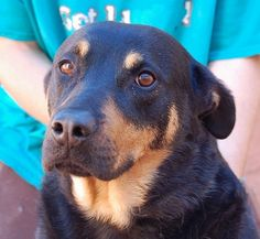 ***URGENT ~THELMA 5/26/16 Hero needed, Rottweiler & Shepherd mix, spayed girl, 4 years. Thelma becomes very devoted to those she learns to trust. An abuse survivor, she is wary of people and worried they want to hurt her. She is housetrained. She needs a peaceful home environment with daily exercise. She requires an adult-only home without other animals. At Nevada SPCA (www.nevadaspca.org)