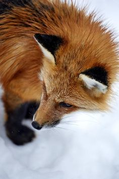Red Fox by Luc Girouard - National Geographic Your Shot