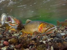 Cutthroat trout spawn in Wyoming's Gros Ventre River in this National Geographic Photo of the Day.