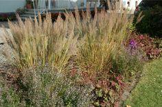 Calamagrostis brachytricha - Diamantgras, Koreanisches Reitgras - | SARASTRO Stauden Zur Blütezeit ist dieses Gras wohl eines der prächtigsten Gräser! Dicke, silbrige Ähren schmücken den herbstlichen Garten, stellt hiermit fast jedes Lampenputzergras in den Schatten. Jeder Boden in voller Sonne, kann sich sogar leicht aussäen. Merkmale Pflanzbreite-/höhe: 50/120 Blütezeit: VIII - X