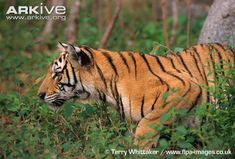 Indochinese Tiger | Tiger photo - Panthera tigris - G113277 | ARKive