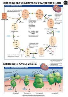 Difference between Krebs cycle and Electron Transport Chain (Citric acid vs ETC) Study Biology, Biology Lessons, Cell Biology, Science Biology, Teaching Biology, Science Education, Life Science, Science And Nature, Learn Biology