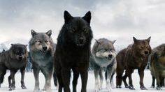 Twilight wolves - the only good thing about the twilight saga! and I wish they were real, I would want one as a big fluffy pet! :)