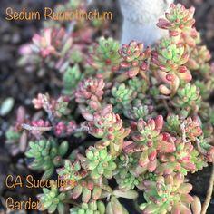 Fresh Succulent Cuttings Assorted Variety: Aeonium Crassula