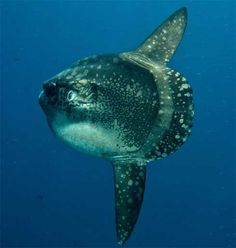 mola mola bali - 3 dives at crystal bay at nusa penida in early august, but didn't manage to see any. ):