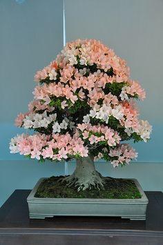 Indoor Bonsai, Bonsai Plants, Bonsai Garden, Bonsai Trees, Bonsai Azalea, Tiny World, Small Trees, Weird And Wonderful, Plants