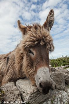 Close Up Of Donkey by N Vivienne Shen Photography