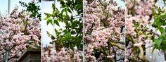 Magnolie und Flieder im Garten   blog.martha-s.de