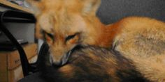 A collection of my favourite fox gifs