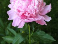 My beautiful peony plant in bloom.