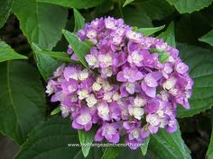 Hydrangea macrophylla 'Forever & Ever Together'
