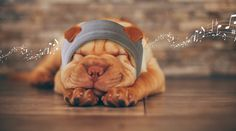Shar Pei puppies are adorable. But are Shar Pei breeders doing a disservice to the animals they adore? We look at the moral implications of buying a puppy with exaggerated features. Calm Dog Breeds, Best Dog Breeds, Best Dogs, Shar Pei Puppies, Cute Puppies, Cute Dogs, Raza Cocker, Border Collie, Cachorros Shar Pei