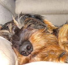 Fox Terrier, Dachshunds, Hot Dogs, Pets, Children, Heart, People, Animals, Doggies