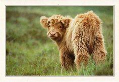Fluffy cows, so stinkin cute Cute Baby Cow, Baby Animals Super Cute, Baby Cows, Cute Cows, Cute Little Animals, Cute Funny Animals, Baby Elephants, Fluffy Cows, Fluffy Animals
