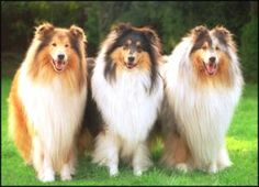 Three UK Rough Collie Champions -- Sable, Tricolor, Blue Merle
