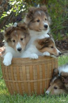 Shetland Sheepdog Puppies Dogs For Sale In Denver Colorado Beautiful Dogs, Animals Beautiful, Cute Baby Animals, Animals And Pets, Cute Puppies, Dogs And Puppies, Small Puppies, Pet Dogs, Dog Cat