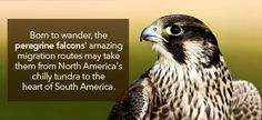 Born to wander, the perigrine falcon's amazing migration routes may take them from North America's chilly tundra to the heart of South America.