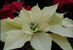 White Poinsettia at Hamilton Farms in Boonton Twp, NJ